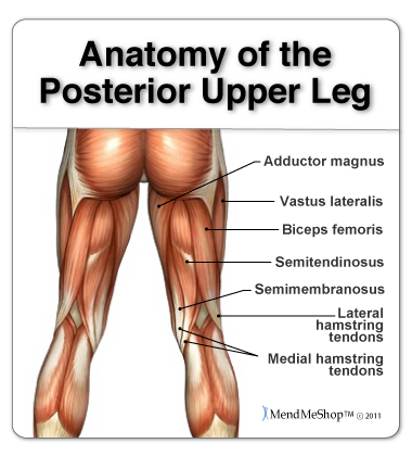 Leg anatomy and the hamstring muscles, biceps femoris, semitendinosus, semimembranosus