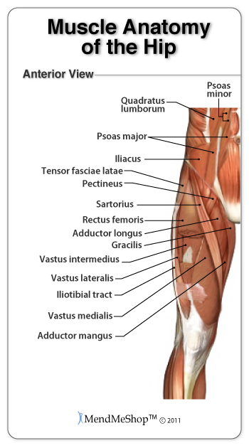 Groin anatomy and the Hip Piriformis muscles